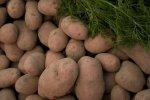 Ziemniak odmiana Torpeda